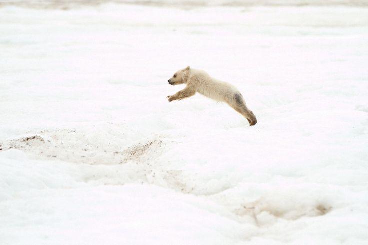 Luke si alza, Nanuk lo guarda. Luke annuisce. Nanuk salta. Salta anche Luke. Ancora uno, ancora uno, ancora uno… con la forza della volontà, con la forza di chi vuole sopravvivere. Questa volta saltano insieme. Un ultimo sforzo, un ultimo salto e sono sulla banchisa, quella solida ancorata alla terra.