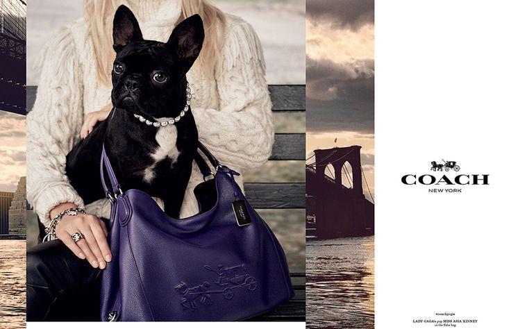 Miss Asia, la perrita de Lady Gaga, se une a la lista de mascotas famosas que han protagonizado su propia campaña de moda, nada menos que con la marca Coach.