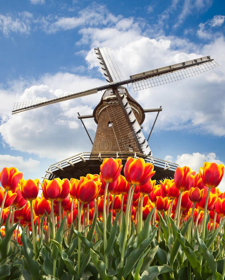 Windmill With Tulips Holland Windmill With Tulips In Holland