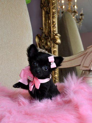I need her: One Day, Black Teacups, Beautiful Animal, Pretty In Pink, Islands, Adorable Puppies, Teacups Chihuahua Puppies, Black Chihuahua Puppies, Adorable Animal