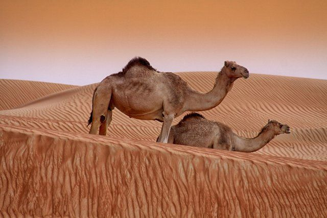 Two big cute camels - photo by Muhammad Hassan