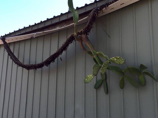 Evidence that gutter growths can cause irreparable damage to your gutters!