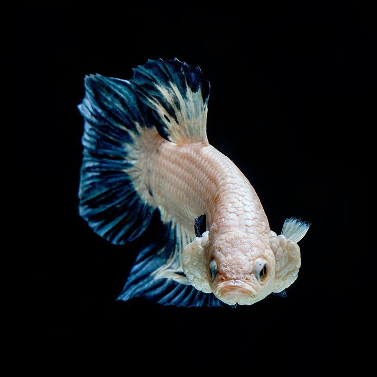 Betta Fish Photography No 1 Betta Fish Is A Marbles Color Ikan Cupang Binatang Ikan Betta fish wallpaper gif betta fish my