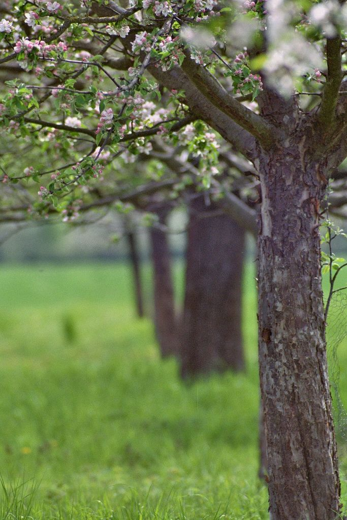 How I miss walking the orchards ...