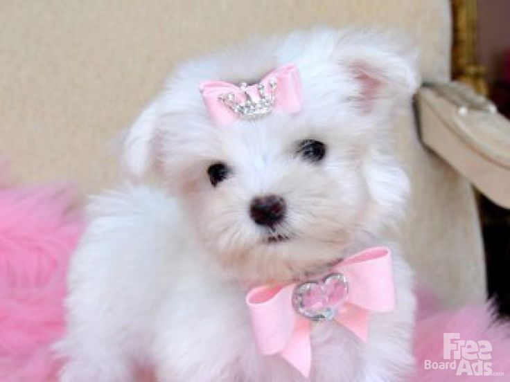images of puppies   Teacup size Maltese Puppies for sale.
