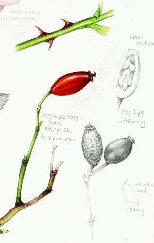 Lizzie harper botanical illustration of a dog rose hip