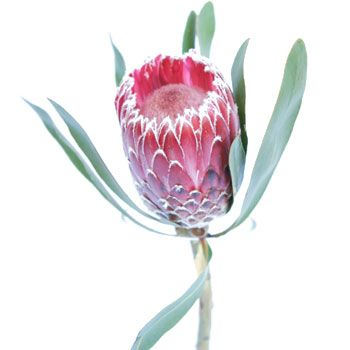 Pink Ice Protea Flower - available year around, even in the winter! 20 Protea Stems for $119.99