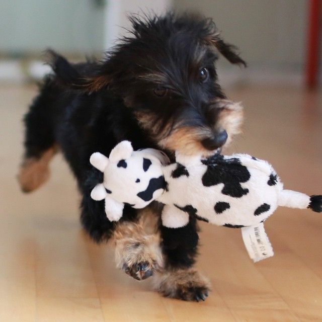 Waaait... Freddy the cow will join us in office today . #mo #amo #dackel #dachshund #dackelblick #dachshundsunited #doxiesofinstagram #dogsofinstagram #rauhaardackel #zwergdackel #welpe #bassotto #doxie #teckel #puppy #playing #freddiethecow #playing #neverask