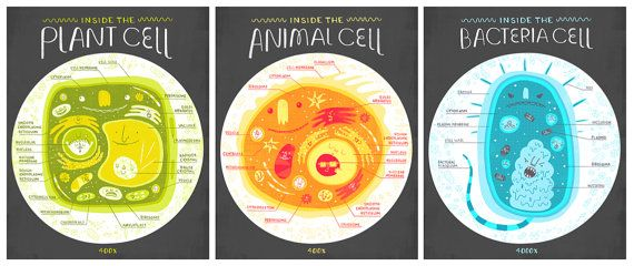 All Three Cell Anatomy Art Prints DEAL by Rachelignotofsky on Etsy, $45.00