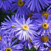 Aster x Frikartii 'Monch', Frikart's Aster, Michaelmas Daisy, Frikart's Aster 'Monch', Michaelmas Daisy 'Monch', Fall perennials, Fall Flowers, Purple flowers, blue flowers