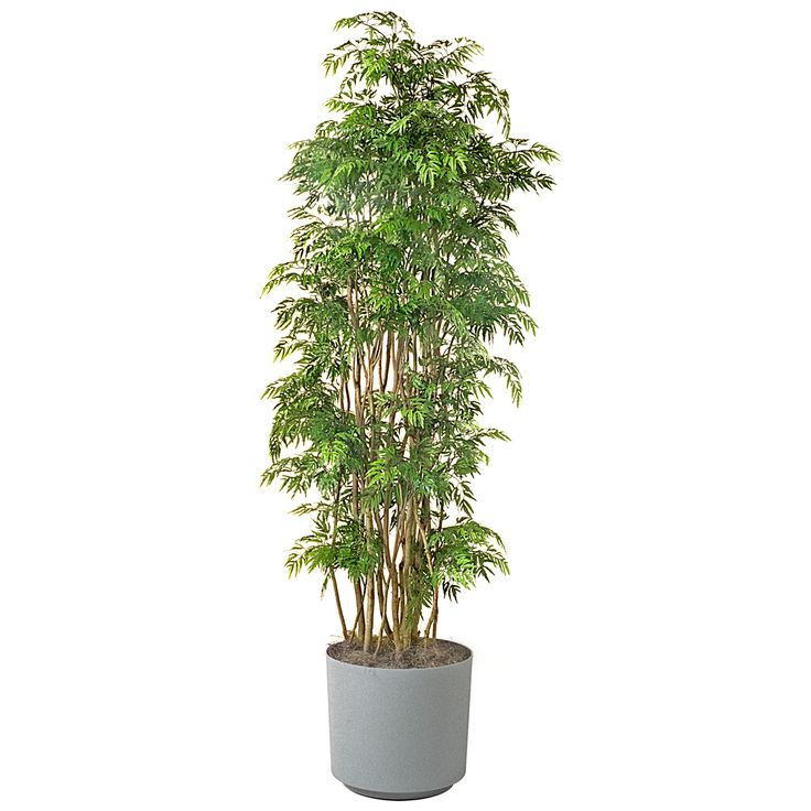Flipboard How Much Longer Will Foreigners Buy The Growing: Ming Aralia Low Light Plant For Indoors