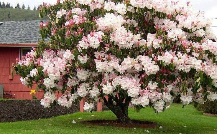 cerejeira do Japão