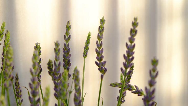 https://flic.kr/p/r3mT7g   Lavender in my garden