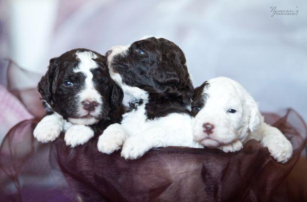 New litter Puppies, Spanish water dog, Water dog