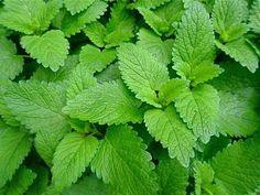Vamos a repasar 11 plantas que repelen las moscas y que nos reportarán un gran alivio en verano cuando las moscas son más abundantes y pesadas.