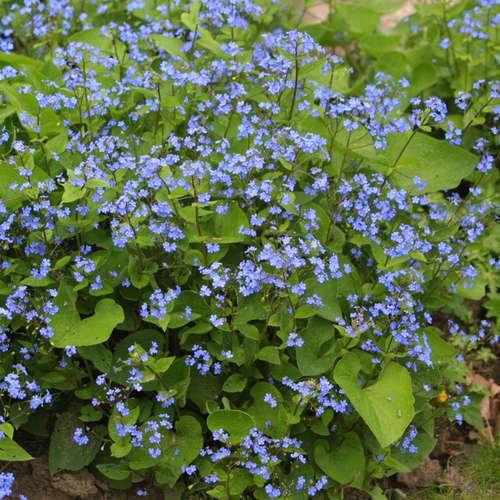 Kaukasus-Vergissmeinnicht - Brunnera macrophylla  Bloeit graag in de schaduw.  Bloeitijd: april-mei