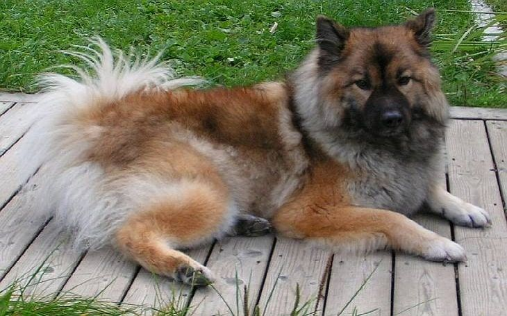All about chow shepherd dog photos behavior