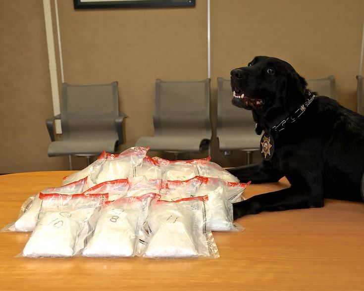 Police dog who busted a meth operation. Guess you could call him... a Meth Lab. - Imgur