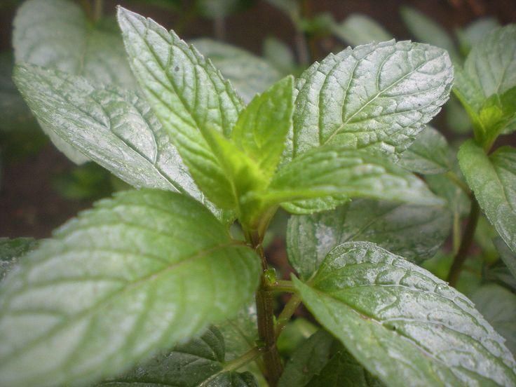 Basil, Sage, & Mint Fragrant Oil (5 ml)