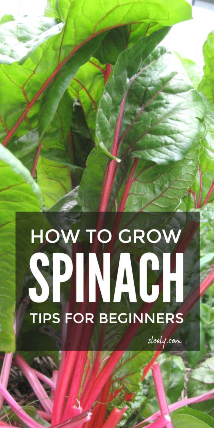 How To Grow Spinach Tips Growing Spinach Easy Vegetables To Grow Companion Planting