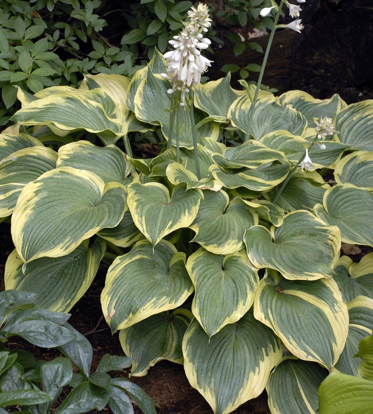 1000 images about hosta bed on pinterest for Green plants for flower beds