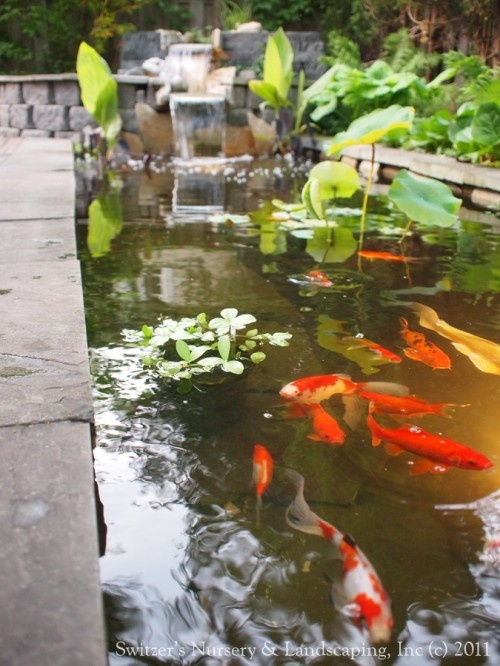 43 best images about goldfish koi and some fish on pinterest for Goldfish pond ideas