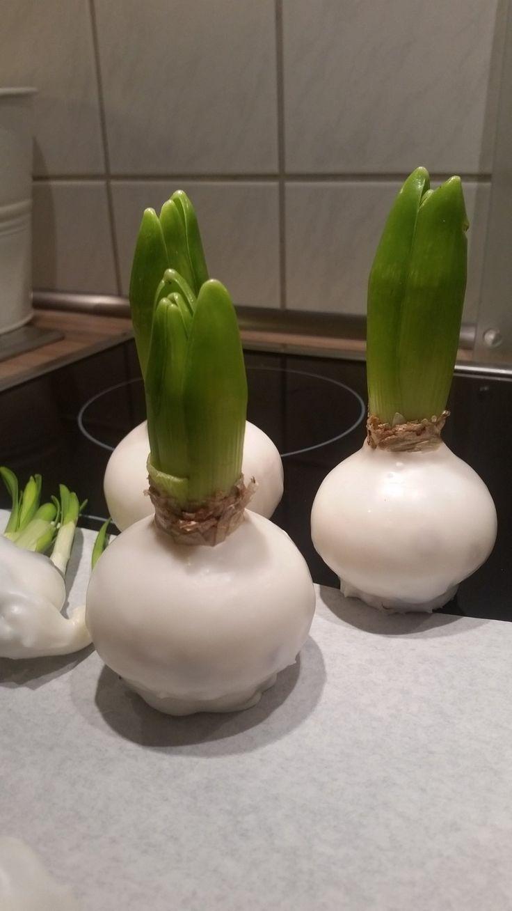 die besten 25 blumenzwiebeln pflanzen ideen auf pinterest fr hlingszwiebeln gl hbirnen und. Black Bedroom Furniture Sets. Home Design Ideas