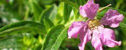 Cuidados de la planta Cuphea hyssopifolia, Falsa brecina o Cufea.