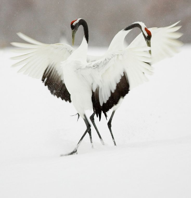 Japanese Crane Bird Wallpaper - photo#36