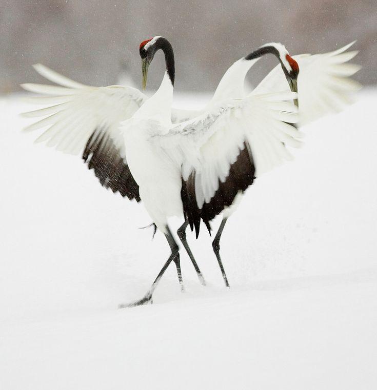 courtship dance │ Japanese crane