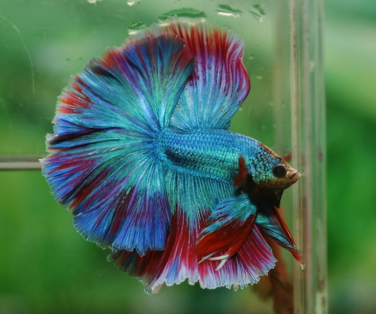17 best images about betta splendens on pinterest for Baby betta fish