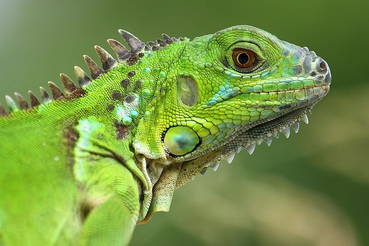 """Beautiful detail..   Green Iguana   ... the most common species, the """"Iguana Iguana"""" or the green iguana"""