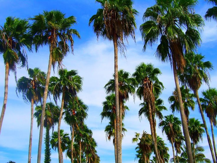 Washington Robusta | Tree Identification: Washingtonia robusta - Mexican Fan Palm