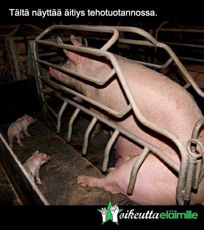 Siantuotannossa porsaat syntyvät, ne kasvatetaan, osa tapetaan ja osa jätetään henkiin poikastentuotantokoneiksi, tuottamaan yhä uusia jälkeläisiä lihankulutuksen tarpeisiin. Tällaista on äitiys eläintehtaalla.  http://elaintehtaat.fi/