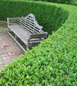 Possible hedge in Memorial garden