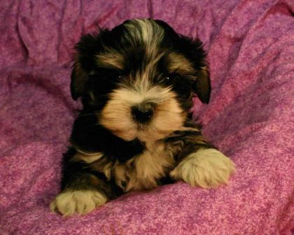 black brown and tan havanese puppies for sale in california