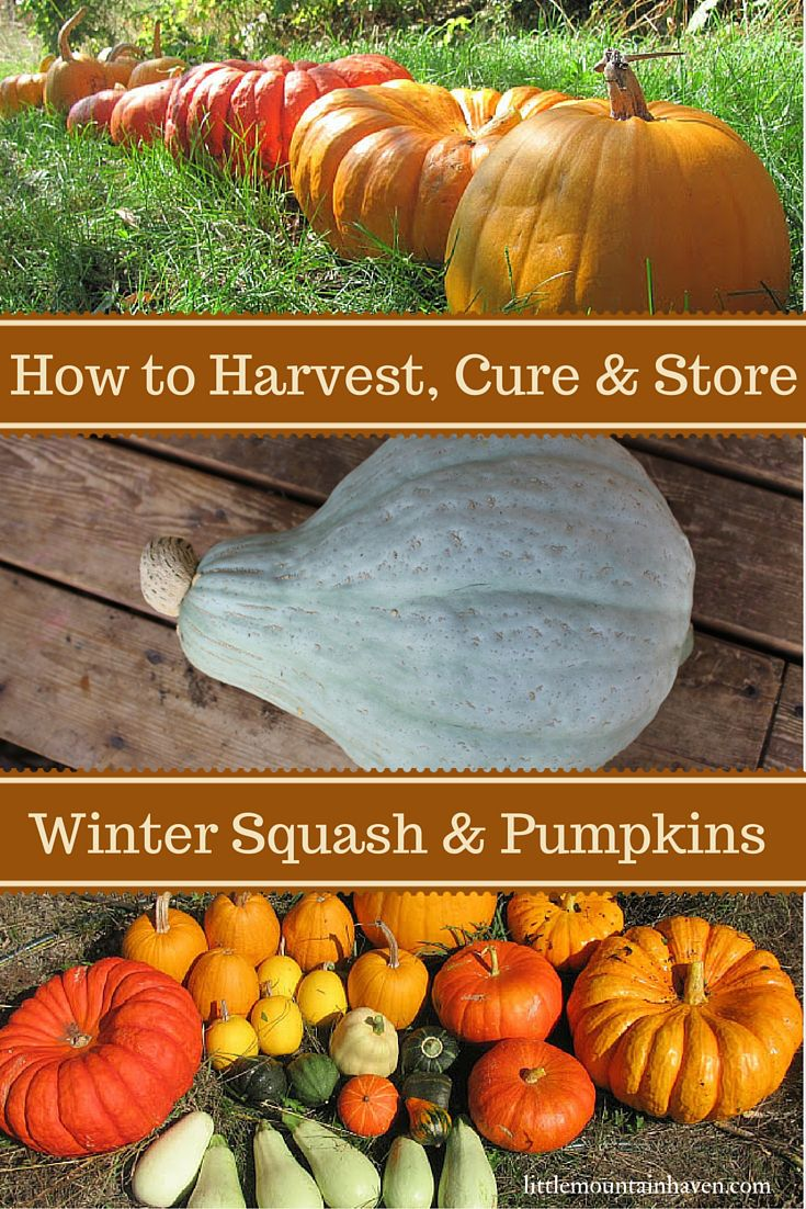 How to Harvest, Cure & Store Winter Squash and Pumpkins: