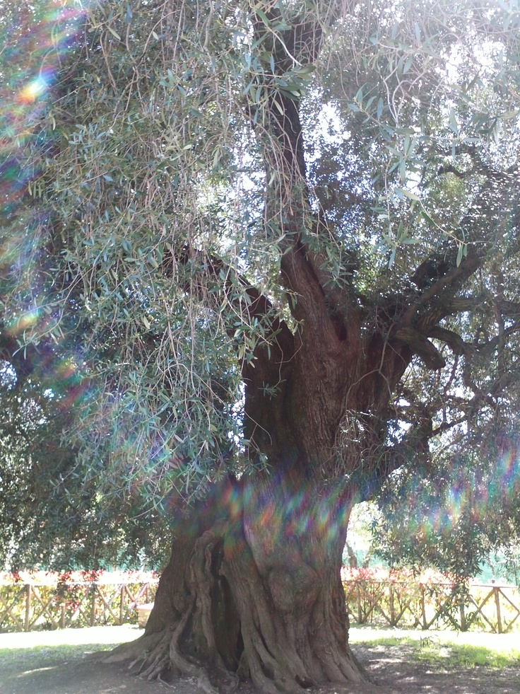 """THE BIGGEST OLIVE OIL TREE...THE SO CALLED """"OLIVONE"""" SABINA REGION"""