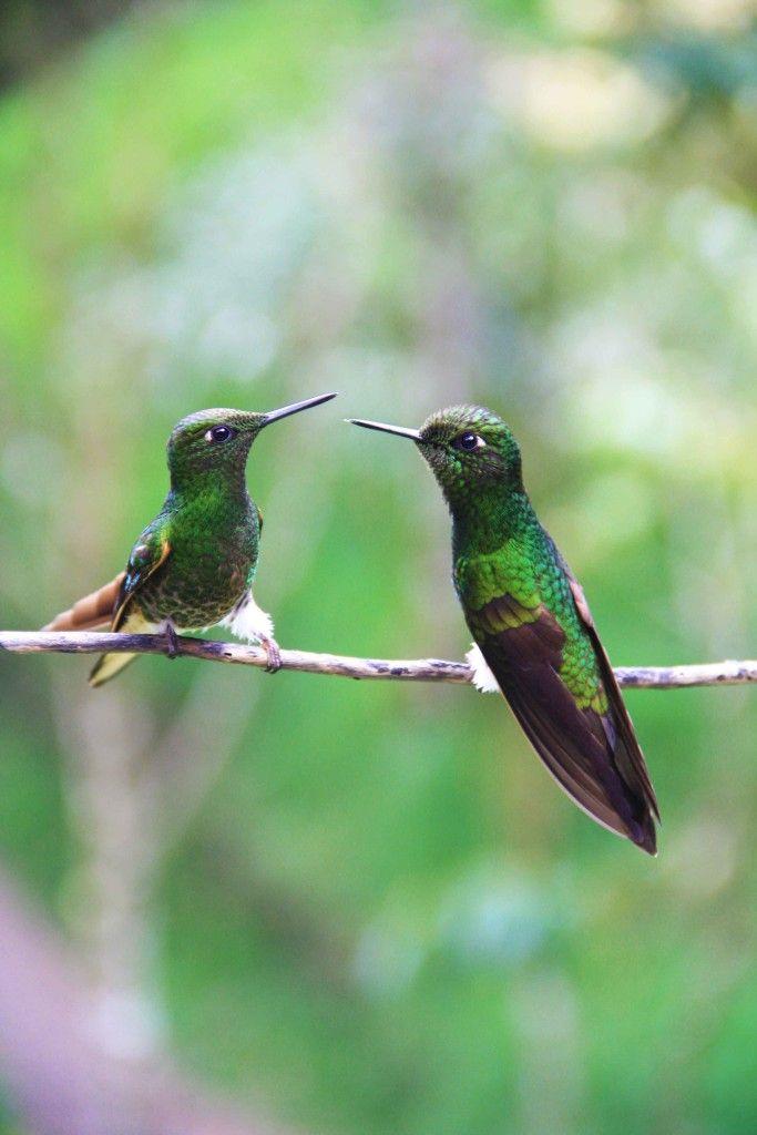 hummingbirds salento