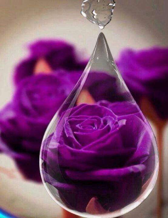 Purple Rose Inside Of A Raindrop Purple Shared Board