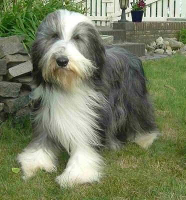 Bearded collie photo | Bearded Collie. About Bearded Collies