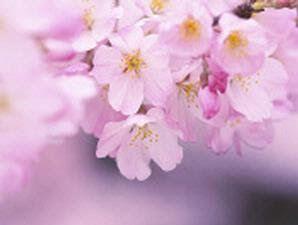 bunga sakura dan kesehatan kulit: bunga sakura