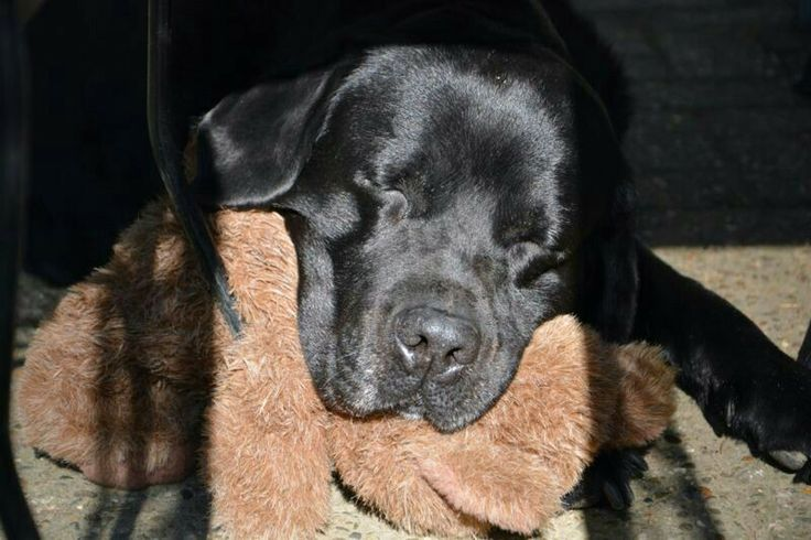 black labrador with his bear