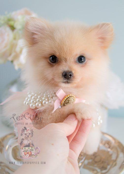 Tiny Pomeranian Puppy For Sale #172