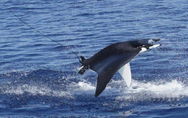 I diavoli di mare volano nel santuario dei cetacei #diavolidimare #mobula #manta #liguria