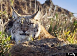 Iberian Lynx - why extinctions matter.  Extinctions are not new but are occurring more rapidly.  Planetary biodiversity is in a rapid decline since the 1970's.