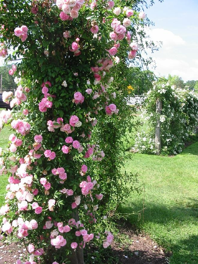 foto de Top 10 Roses in the World Climbing Rose Roses
