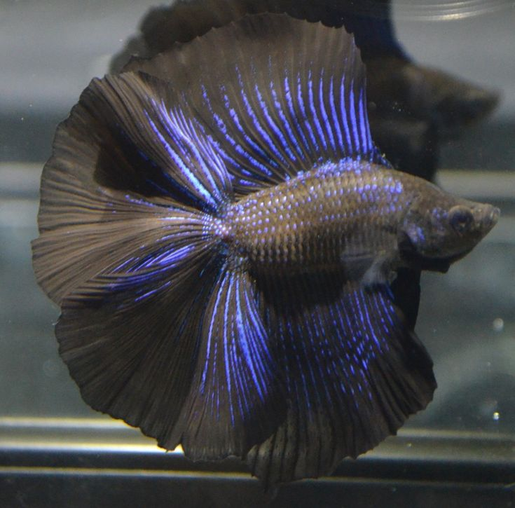 Live betta fish huge fins rare super black metallic for How much are betta fish