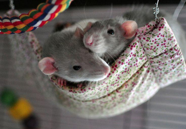 20 Adorable Rat Pictures Prove Rats Make The Cutest Little Pets
