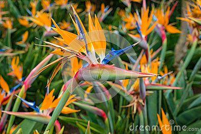Strelitzia reginae, Bird of paradise flower Crane Flower